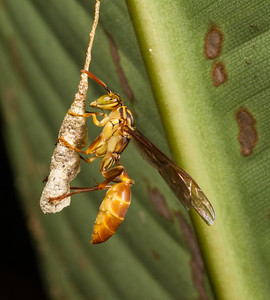 paper wasp (Vespidae, Polistinae). Shiripuno, Orellana Ecuador