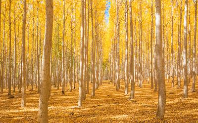 Boardman Poplars 1