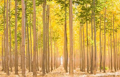Boardman Poplars 2