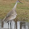 Sandhill Crane Kissimmee State Park