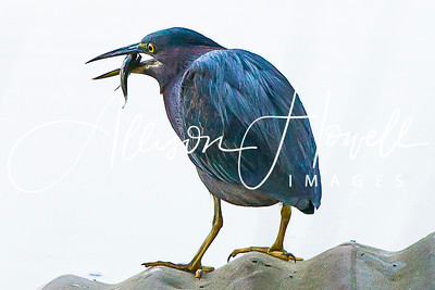 Little Heron with fish2018