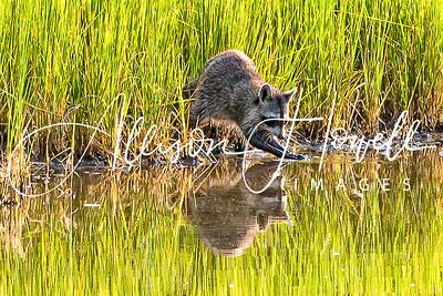 Raccoon Reflection2018
