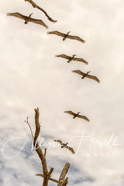 Brown Pelicans in flight2018