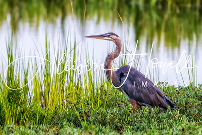 Great Blue Heron 2018
