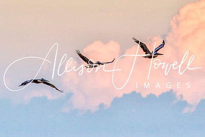 Pelicans at sunset2018