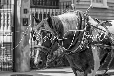 Paint Carriage Horse B&W 2018