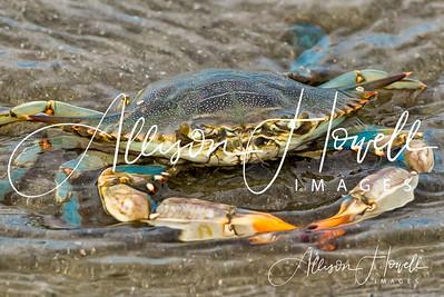 Crab portrait wm2018