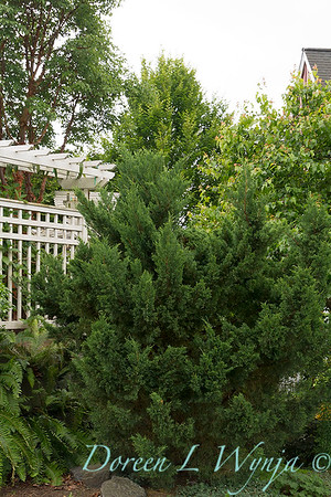 Juniperus chinensis Torulosa_539