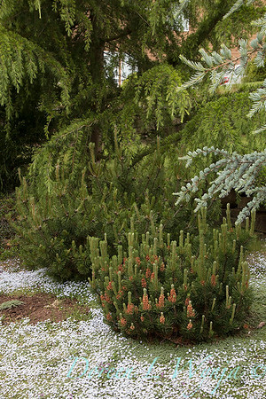 Pinus mugo 'Slowmound' - Isotoma fluviatilis Blue Star Creeper_3229