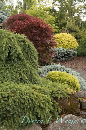 Picea abies 'Formanek' landscape_3245