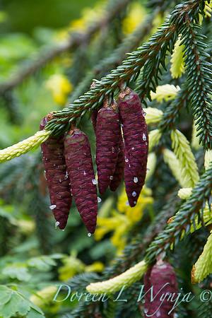 Picea orientalis Aurea Spicata_4927