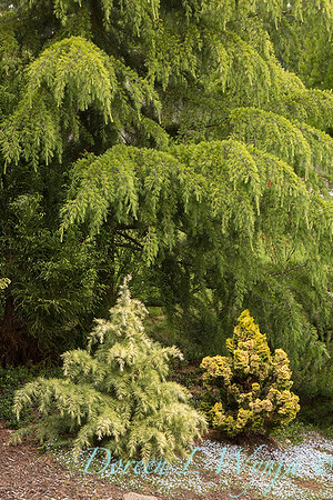 Cedrus deodara - Cedrus deodara 'MonKinn'  Feelin' Sunny conifer collection_0812