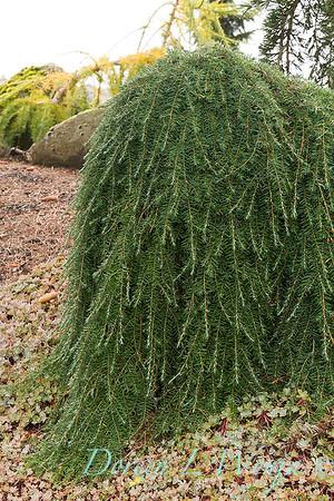 Tsuga heterophylla 'Thorsen's Weeping' - Sedum spathulifolium 'Capo Blanco'_6437