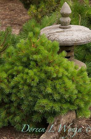 Pinus sylvestris 'Green Flare'_3249