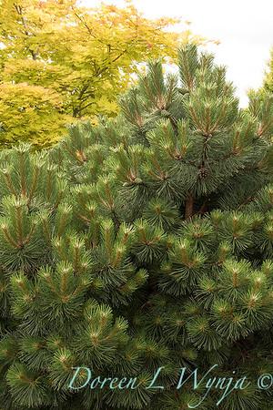 Pinus nigra 'Helga'_1200