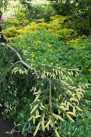Picea orientalis Aurea Spicata_4944