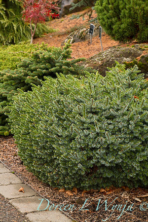Picea omorika 'Pimoko'_0895
