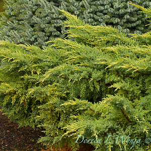 Juniperus chinensis 'Daub's Frosted' - Picea sitchensis 'Papoose'_6418crop