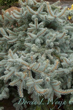 Picea pungens `Glauca Prostrata'_875