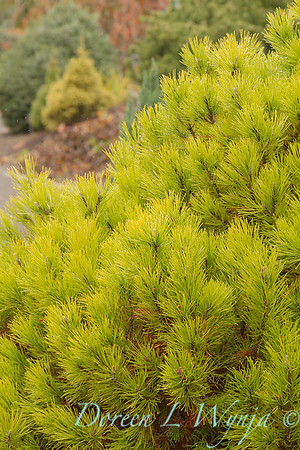 Pinus mugo 'Golden Mound'_834