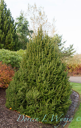 Picea abies 'Sherwood Compact'_7369