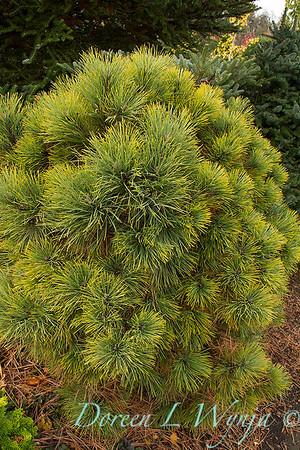 Pinus ponderosa 'Dixie'_7337