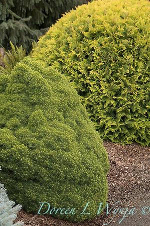 Picea glauca 'Humpty Dumpty'_1327