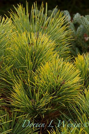 Pinus ponderosa 'Dixie'_7343