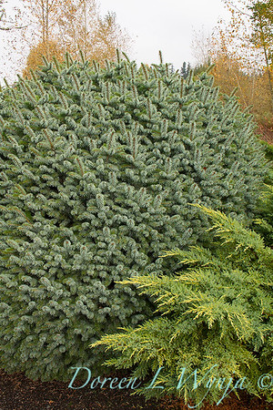 Picea sitchensis 'Papoose' - Juniperus chinensis 'Daub's Frosted'_6416