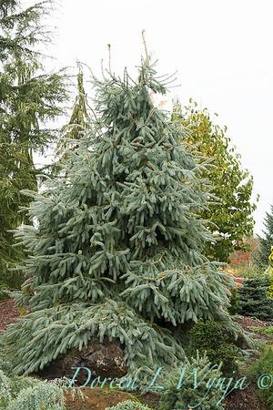 Picea engelmannii Bush's Lace_020
