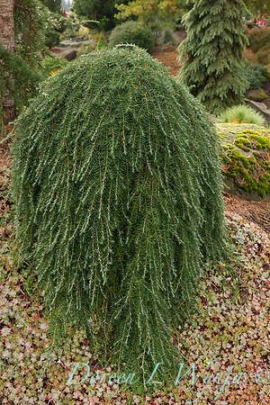 Tsuga heterophylla 'Thorsen's Weeping' - Sedum spathulifolium 'Capo Blanco'_6439