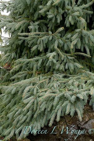 Picea engelmannii Bush's Lace_024