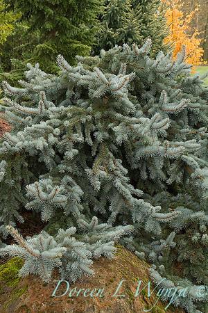 Picea pungens `Glauca Prostrata'_876