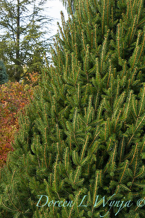 Picea abies 'Sherwood Compact'_7372