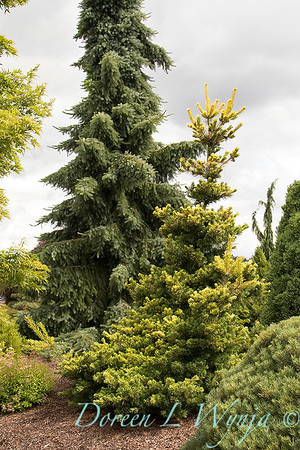 Pinus parviflora 'Goldilocks' - Picea omorika 'Gotelli Weeping'_1451