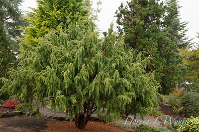 Juniperus pingii_839