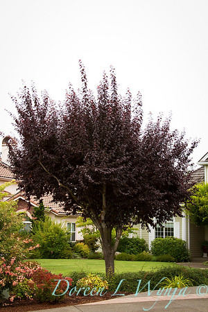 Prunus cerasifera Thundercloud_011M