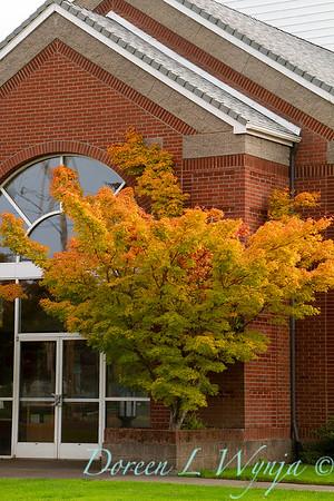 Acer palmatum Sangokaku_071