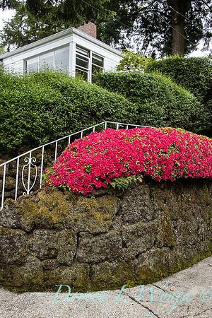Azalea hedge - rock wall_5542