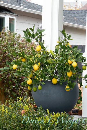 Citrus limon 'Meyer Improved' container_1287