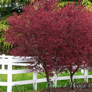 Prunus cerasifera Thundercloud_053
