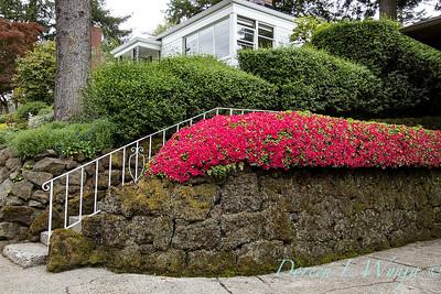 Azalea hedge - rock wall_5541