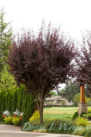 Prunus cerasifera Thundercloud_014