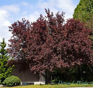 Prunus cerasifera Thundercloud_038