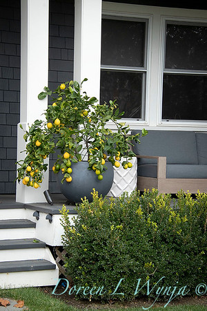 Citrus limon 'Meyer Improved' container_1292