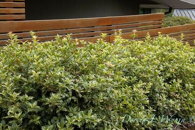 Osmanthus heterophyllus 'Goshiki' hedge along a fenceline_3491