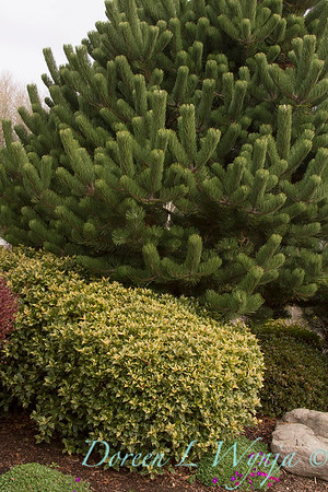 Osmanthus heterophyllus Goshiki_028
