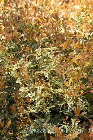 6323 Osmanthus heterophyllus 'Goshiki'_5682