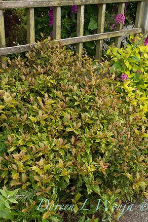 Osmanthus heterophyllus Goshiki_051