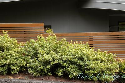 Osmanthus heterophyllus 'Goshiki' hedge along a fenceline_3493